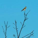 American Kestrel, Heald Orchard