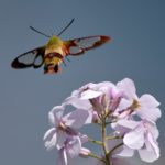 Dame's rocket Hummingbird clearwing moth